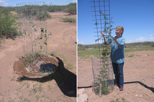 At Ransom Ranch new plants are dedicated to friends and visitors.  Left: Jesse's silver poplar. Right: Kathleen's tombstone rose (lady banks).