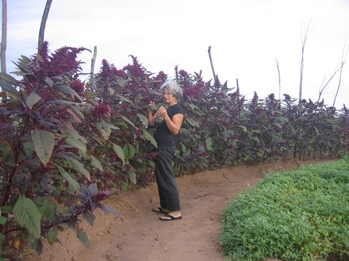 Red amaranth will be harvested this year for biomass rather than grain.