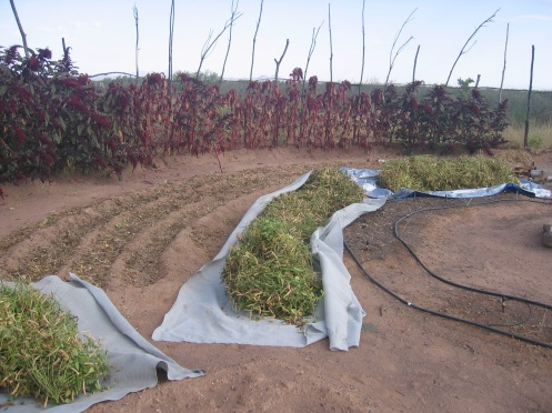 Tepary beans are cut near the ground and rolled onto tarps, then fully cured/dried in the sun before threshing and winnowing.
