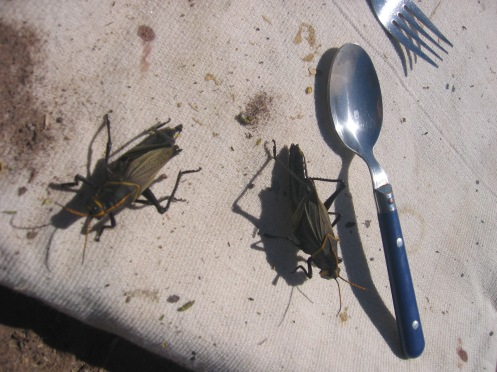 Giant Horse Lubber Grasshoppers invade in late summer, but fortunately only seem to like the leaves, not the beans.