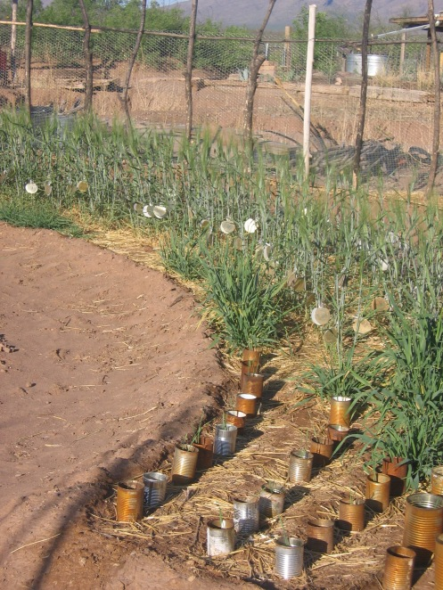 Tin cans are used to protect new sprouting barley and wheat.  (Remove bottoms of cans.)