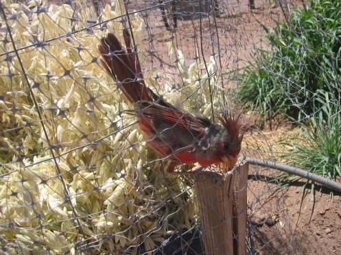 Even bird netting couldn't keep this pyrrhuloxia out of the oats. (He was carefully rescued and put on the right side of the netting.)