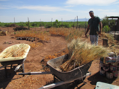 Bundling harvested spring wheat into sheaves. Kamut is an ancient form of wheat.