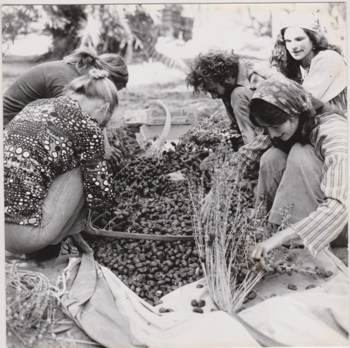 Illustrating Marcia's start in farming and gardening in the mid-1970s, here sorting dates in the field.